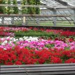 Produktion von Beet- und Balkonblumen
